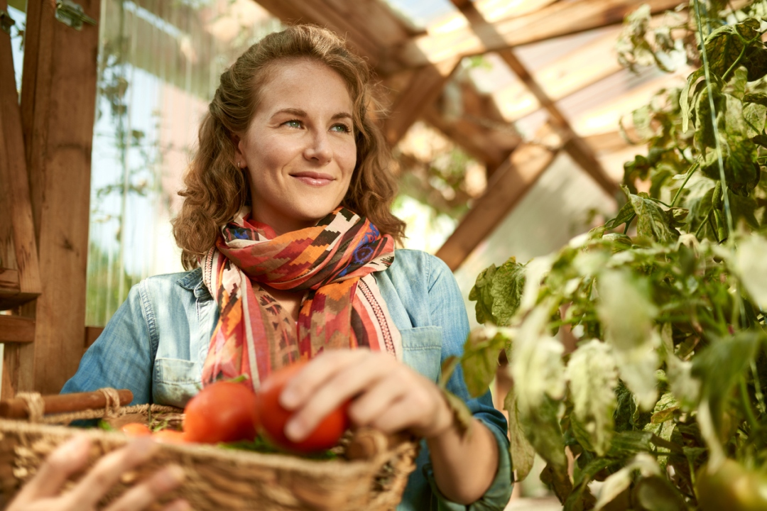Friendly woman harvesting fresh tomatoes from the greenhouse garden putting